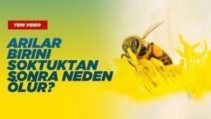 Arılar Birini Soktuktan Sonra Neden Ölür