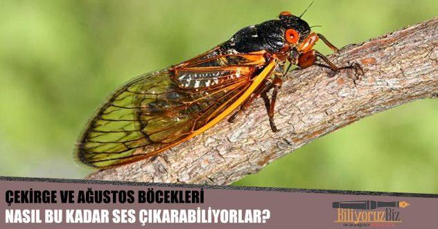 Çekirge Ve Ağustosböcekleri Nasıl Bu Kadar Ses Çıkarabiliyorlar?