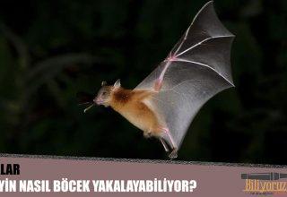 Yarasalar Geceleyin Nasıl Böcek Yakalayabiliyor?