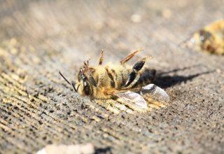 Arılar Birini Soktuktan Sonra Neden Ölür ?